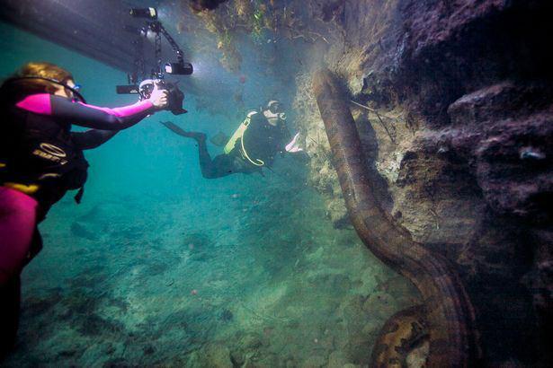 مار آناکوندا زیر آب