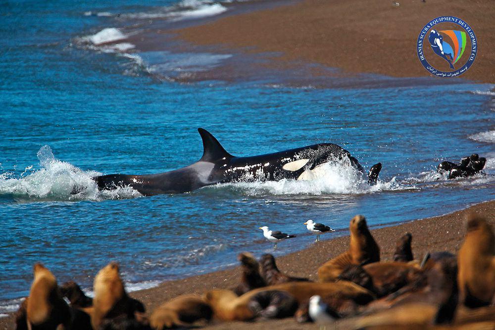 12 حقیقت که در مورد نهنگ های قاتل (ارکا) نمی دانستید