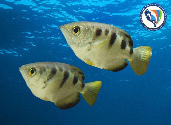 ماهی ها چهره انسان را تشخیص می دهند