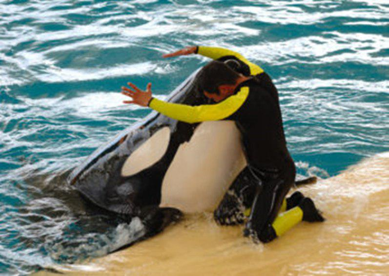 مرگ Tilikum  یا نهنگ قاتل و تأثیر آن بر آینده شرکت SeaWorld